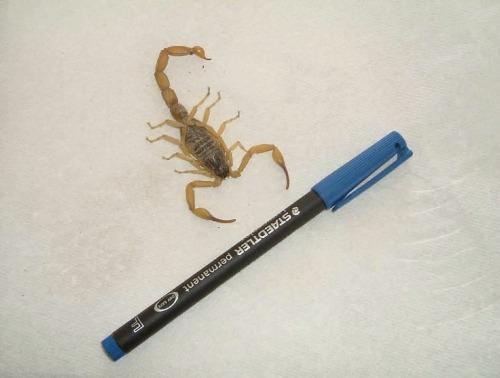 Afgh-scorpion